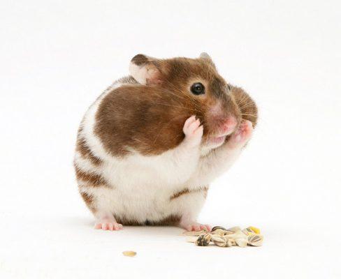 همستر سوری با گونه های پر از غذا